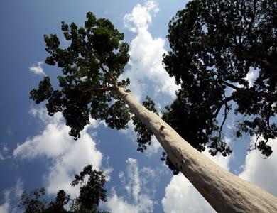 Drevesne vrste