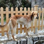 Lesena ograja Markovec pes