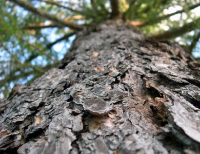 Sibirski macesen drevo
